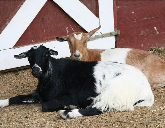 Blank Note Cards, photo note card, Greeting Card, farm animal, Goat photo card, Farm photo card, Farm animal photography, Greeting card