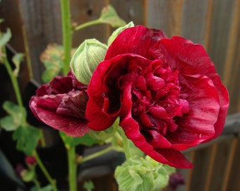 Ruffled BURGUNDY Hollyhock PLANTS - Perennial