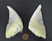 Pair of Pale Yellow Dried Birds Wings Feathers Art Craft Taxidermy