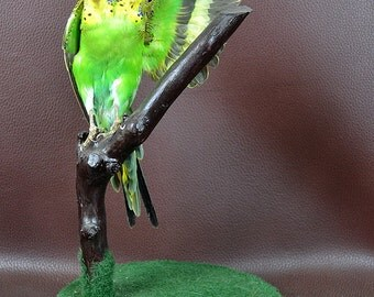 taxidermy of 2 head freak parrot made by 2 parrot,open wings posetion mounted in glass dome