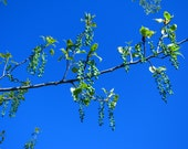 Digital Download Photo Deep Blue Spring Poplar Tree Seed Pods