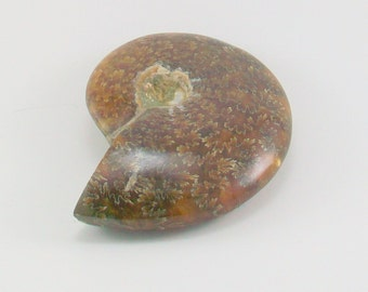 Ammonite Fossil Polished 3 Inch