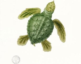 Coastal Decor Loggerhead Sea Turtle Giclee Art Print - Green