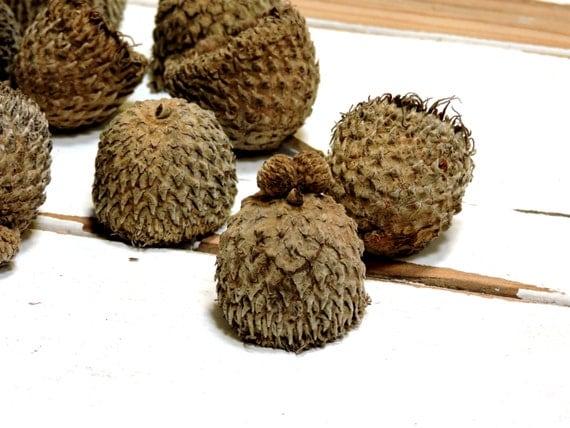 Large Acorn Caps, Bur Oak Tree Big Fringed Hats, Autumn ...