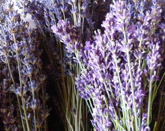 Lavender, Munstead Strain// Lavandula angustifolia//Seeds
