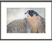 Peregrine Falcon, Bird Photography,  Home and Cabin and Office Decor, Bird Wall Art, Nature Print, Bird Lover Art, Bird of Prey, Blue