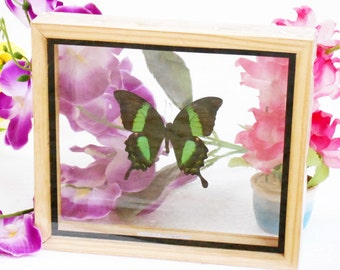 REAL Achillides Palinurus Daedalus Male BUTTERFLY Taxidermy Display Double Glass in Frame /PHD0A