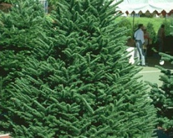 Noble Fir Tree Seeds, Abies procera - 25 Seeds