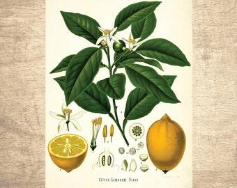 Lemon Botanical Illustration - giclee print, choose your size - Botanicals, Vintage, Illustrations, Poster, Art, Decor, Botany
