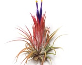 Ionantha Guatemala Air Plants - 30 Day Air Plant Guarantee - Spectacular Blooms - Air Plants for Sale - FAST SHIPPING