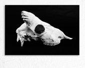 Sheep Skull Profile Creepy Still Life Fine Art Photography
