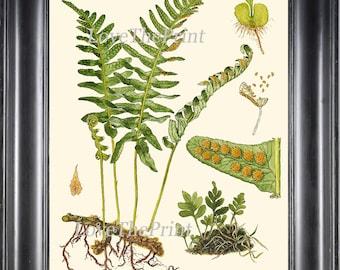 ANTIQUE FERN Lindman  Botanical Art Print 1 Antique Beautiful Green Ferns Forest Nature Natural Science to Frame Wall Decor