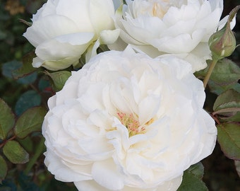 Bolero ™  Rose Bush - Very Fragrant Pure White Flowers - Easy To Grow Plant Grown Organic Potted - Own Root Spring Shipping