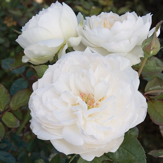 Bolero Rose Bush Very Fragrant Pure White Flowers Easy