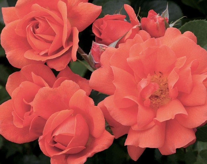 Above All ™ Rose Bush Fragrant Climbing Rose Grown Organic Potted  - Own Root Rose Plant Non-GMO - Improved Westerland Rose Spring Shipping