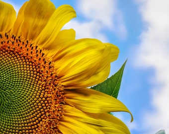 Sunflower In The Clouds Photograph