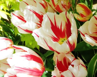 Tulips, The White Stripes Fine Art Photographic Greetings Card