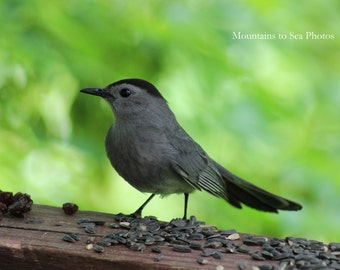 Gray catbird, bird photography, 5x7 nature photo, sign of spring, woodland bird, fine art print, country home decor, songbird print