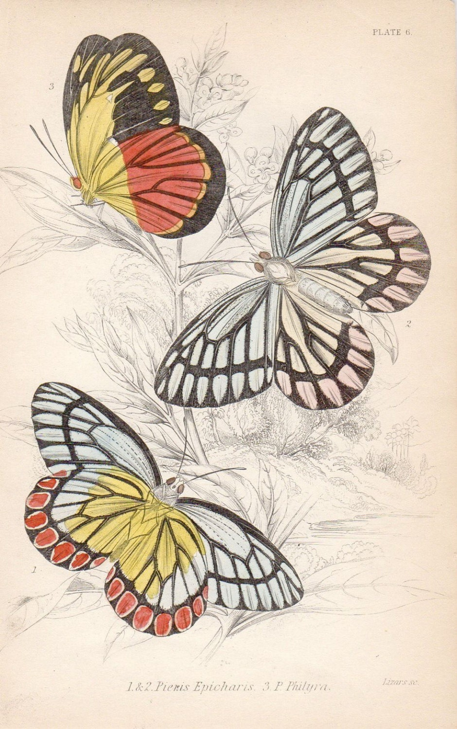 Custom Matted 1833 Custom Matted 8 X 10 Antique Butterfly