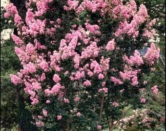 Crape Myrtle Pink Tree Shrub * Makes A Great Bonsai!! 50 Seeds