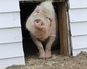 Tab's Walk Outside: Special needs pig takes his first steps outside