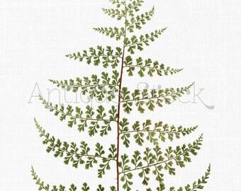 Fern Leaf Botanical Print 'Thicket Creepingfern' Digital Download Illustration for Invitations, Crafts, Collages, Wall Art...