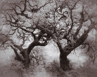 8x10 Fine Art Photograph of Old Oaks