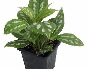 "Aluminum Plant - Pilea - 3"" pot - Easy to Grow - Terrarium/Fairy Garden"