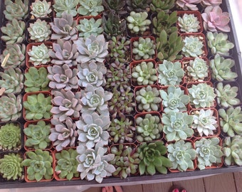 This listing is for  35 mixed  succulents growing in 2  inch pots . We will hand select a healthy and beautiful assortment of succulents
