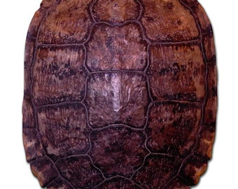 Red-eared slider turtle shell