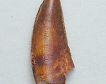 Theropod Dinosaur Tooth from Morocco
