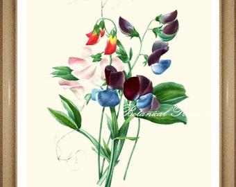"Sweet Pea Print.#1 Botanical Print. Sweet Pea. Flower Print. Botanical Wall Art. 5x7"", 8x10"" 11x14""#"