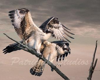 """Juvenile Osprey: """"The Balancing Act"""""""