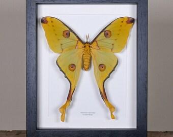 Female Comet Moth in Box Frame (Argema mittrei)