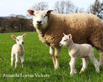 Momma sheep with lambs, Travel photography