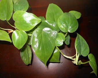 Heartleaf Philodendron (2 Pack)