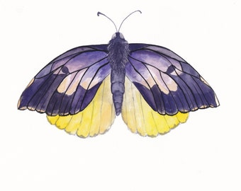 "Watercolor California Dogface Butterfly - 8"" x 10"" Print"