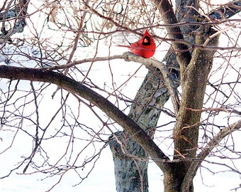 Red Cardinal picture in Winter,Red Cardinal Photo,Cardinal in Snow,Red Bird Cardinal,Cardinal in Winter,Red Cardinal on Snowy Tree Branches