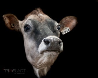 Cow, Digital cow picture, Cow Digital download, Milking cow picture, Cow download, cow photo, cow nature, nature, farming, cow farming