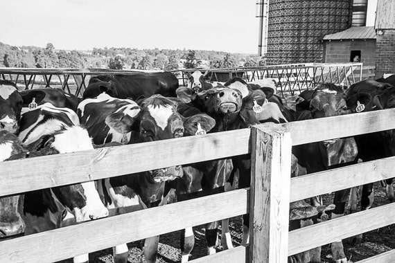 Cow Photograph - Black White Photography - Fine Art Print - Farm Wall Decor - Pictures of Cows - Farm House Decor - Cow Wall Art - Gifts