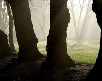 Mist Among Oaks - landscape photograph - nature trees forest fog woodland dawn morning