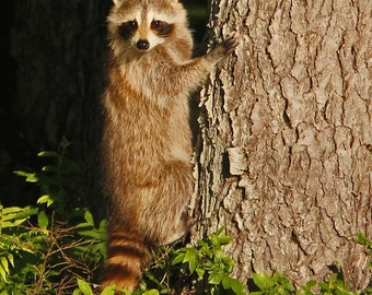 Raccoon preparing to climb a tree!  8x10 Photograph
