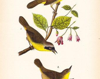 1890 Audubon Bird Print - Maryland Yellow Warbler - Vintage Antique Book Plate Natural Science History Great for Framing 100 Years Old