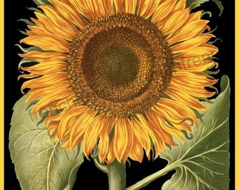 antique botanical print sunflower illustration black background digital download