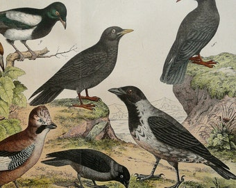 1880 Antique lithograph of RAVENS. CROWS. Black Birds. Magpie. Raven. Crow. 136 years old gorgeous print.