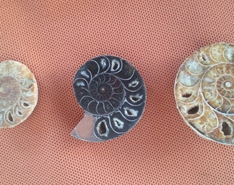 2 medium-sized and one larger sized ammonite