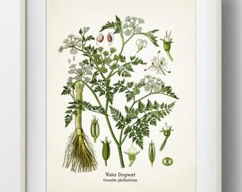 Water Dropwort - Oenanthe phellandrium - KO-39- Fine art print of a vintage botanical natural history antique illustration