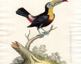 1759 Yellow Breasted Toucan George Edwards Hand Colored Plate Antique Bird Print Pl 329