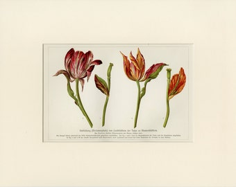 Vintage Tulip Art Print C. 1890 Antique Lithograph, Spring, Purple, Red Tulips - Wall Art, Home Decor, Christmas Gift Matted 11x14
