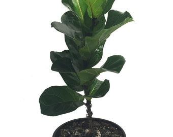 "Fiddleleaf Fig Stylized Tree Shape - Ficus - Great Indoor Tree - Easy - 8"" Pot"